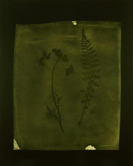 Asplenium Halleri, Grande Chartreuse 1821 - Cardamine Pratensis, April 1839, 2008, toned gelatin-silver print
