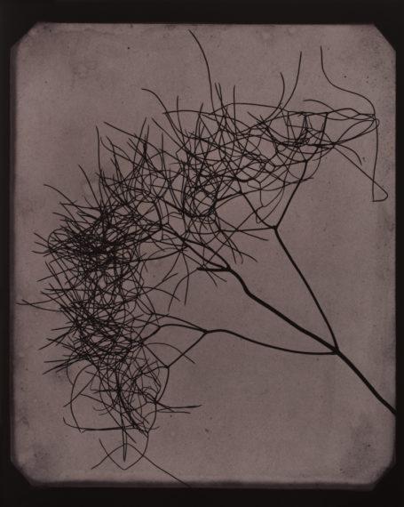 Wild Fennel, circa 1841-1842, 2009, toned gelatin-silver print