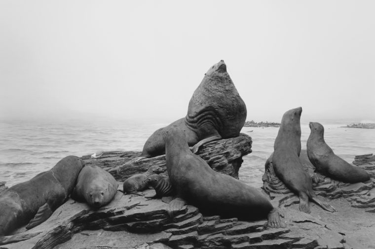 Stellar Sea Lion, 1994, gelatin-silver print