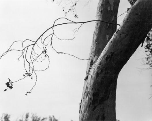 Eucalyptus, Fontana, California, 1982, gelatin-silver print