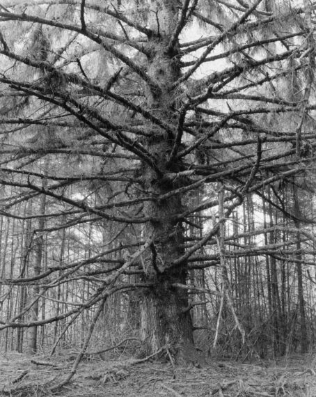 Sitka Spruce, Cape Blanco State Park,  Curry County, Oregon, 1999, gelatin-silver print