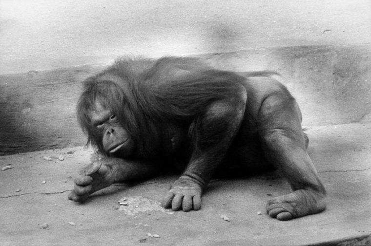 Orangutan, ca. 1963, gelatin-silver print