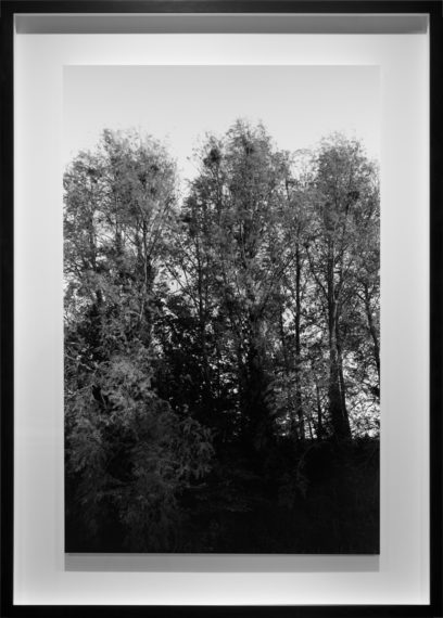 Rookery, 2013, gelatin-silver contact print