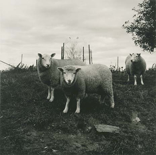 Sheep, Pennsylvania, 1978 / printed later, pigment print